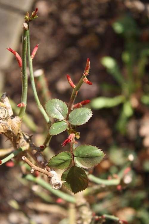 Spring Roses Bud Macro Leaves