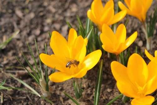 Spring Krokos Flower Early Bloomer