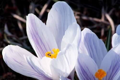 Spring Crocus Schwertliliengewaechs Spring Crocus