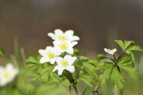Spring Anemone Green Nature