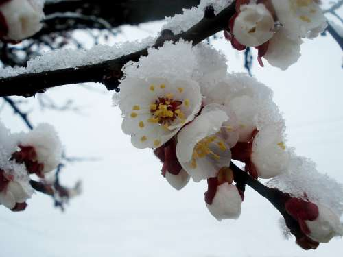 Spring Winter Flowering Tree Flowers Snow Cold