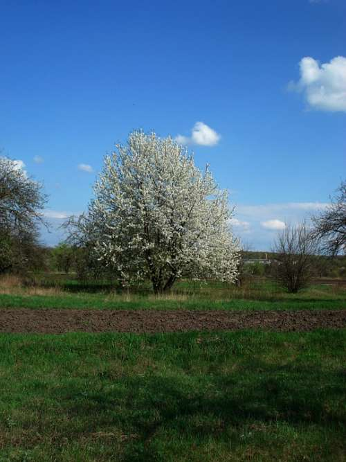 Spring Flowering Tree Sky Tree Grass Nature Green