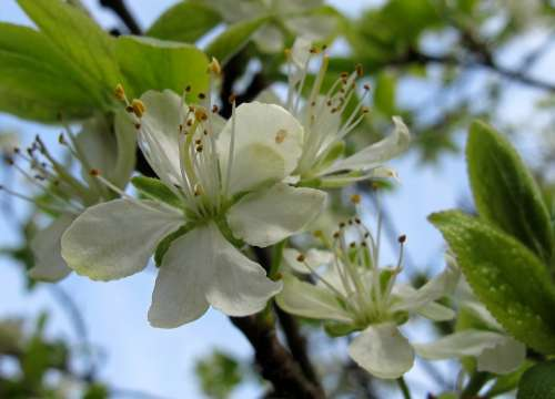 Spring Plum Blossom Bloom Live New