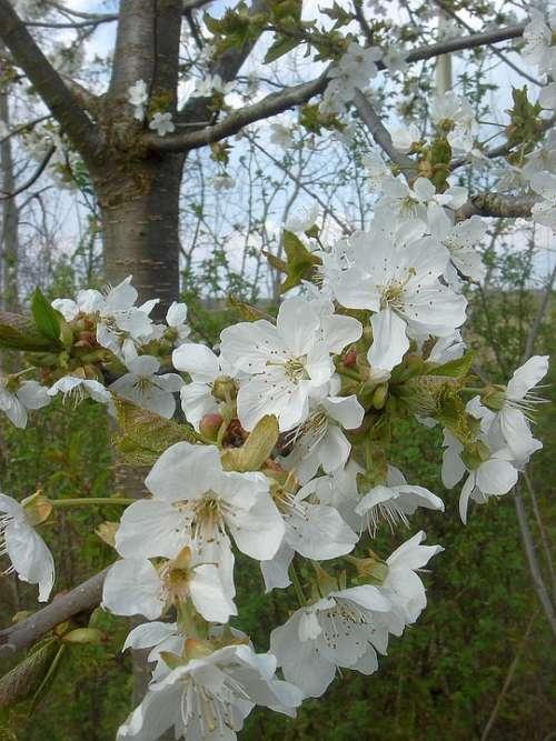 Spring Flowering Tree White Fruit Garden