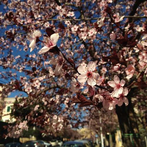 Spring Flower Tree City Plum