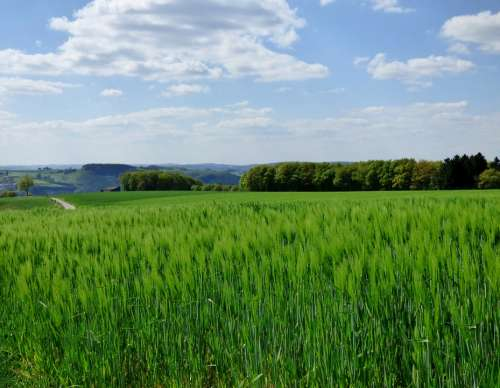 Spring Barley Cornfield Nature Landscape Luxembourg