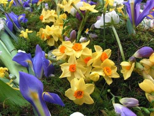 Spring Flowers Narcissus Iris Flowers Spring