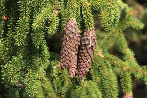Spruce Cone Pine Cone Bad Luck