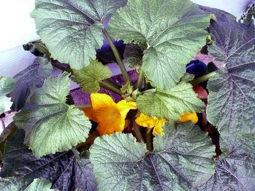 Squash Garden Vegetable Food Gardening Organic
