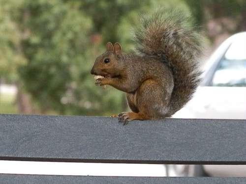 Squirrel Park Animal Wildlife Outdoors Nature