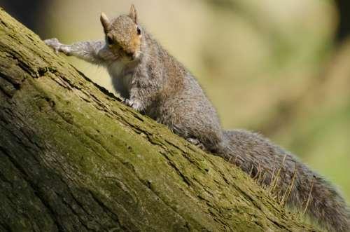 Squirrel Tree Mammal Paw Tail Red Bushy Rat