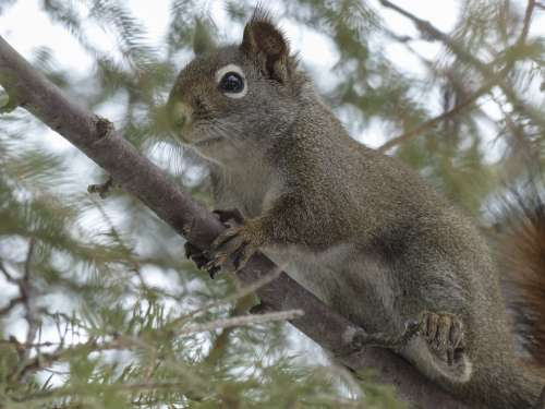Squirrel Animal Forest Branch Tree Nature Mammal