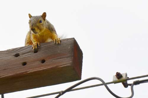 Squirrel Gold Curious Looking