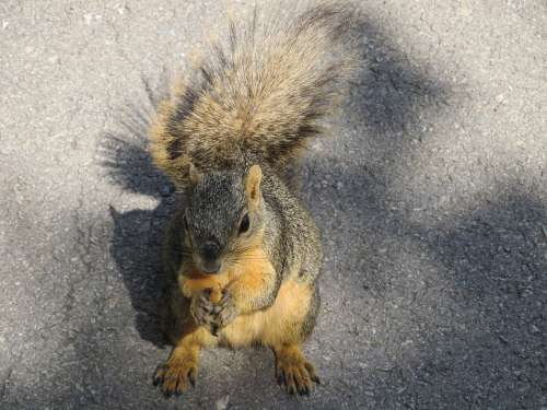 Squirrel Common Squirrel Eating Nut Asphalt Ground