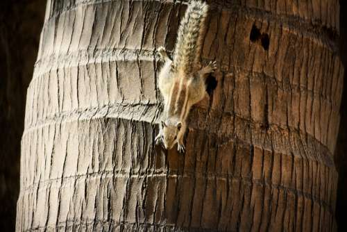 Squirrel Palm Tree Climbing Upside-Down Rodent
