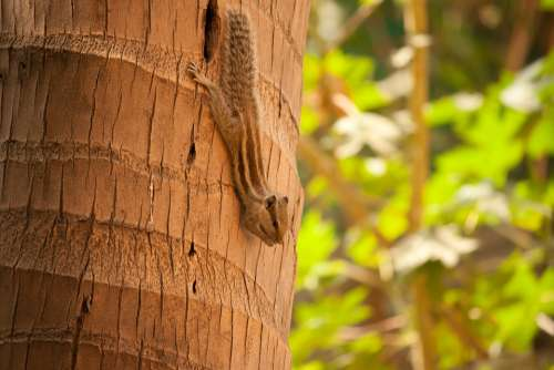 Squirrel Palm Tree Climbing Rodent Animal Cute