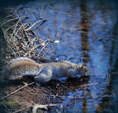 Squirrel Drink Water Animal Wildlife Nature