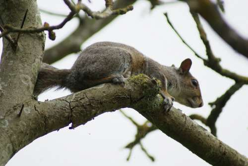 Squirrel Grey Rodent Wildlife Tree Mammal Gray
