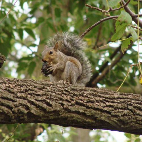 Squirrel Eating Tree Branch Nut Outdoors