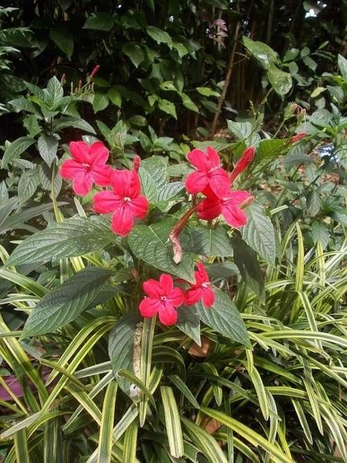 Sri Lanka Sri Lanka Peradeniya Garden Flowers