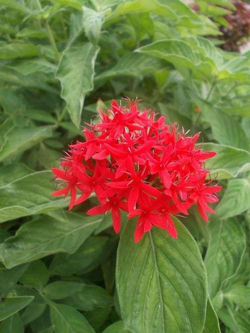 Sri Lanka Peradeniya Garden Red Flower Flower