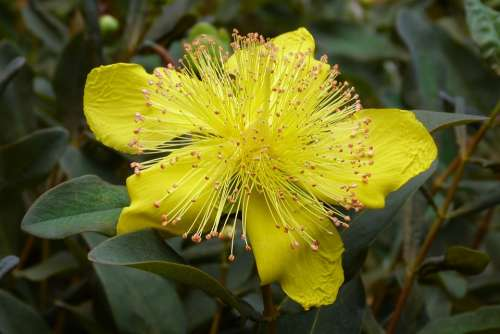 St John'S Wort Flower Macro Yellow Garden Spring