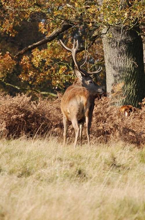 Stag Red Deer Cervus Elaphus Richmond Park Wildlife