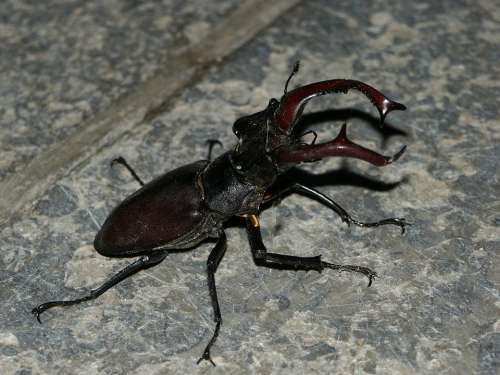 Stag Beetle Beetle Insect Nature Threatened