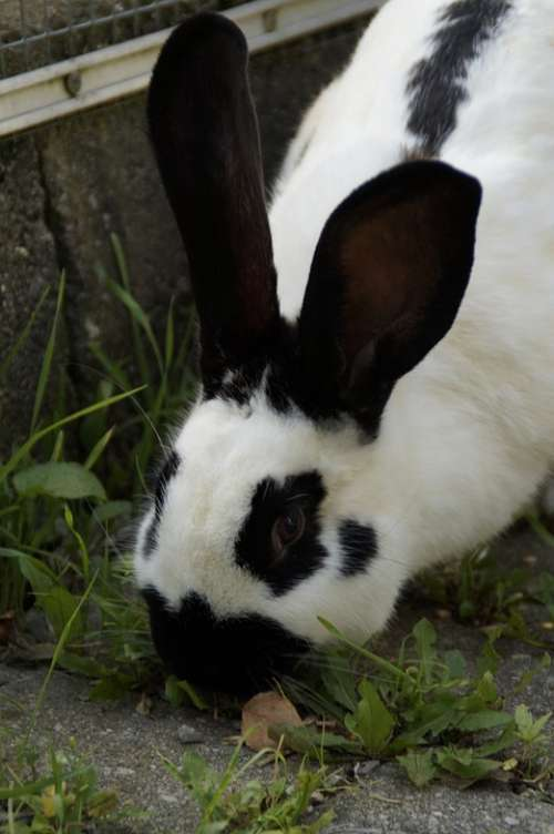 Stall Hase Hare Black And White Nager Ears