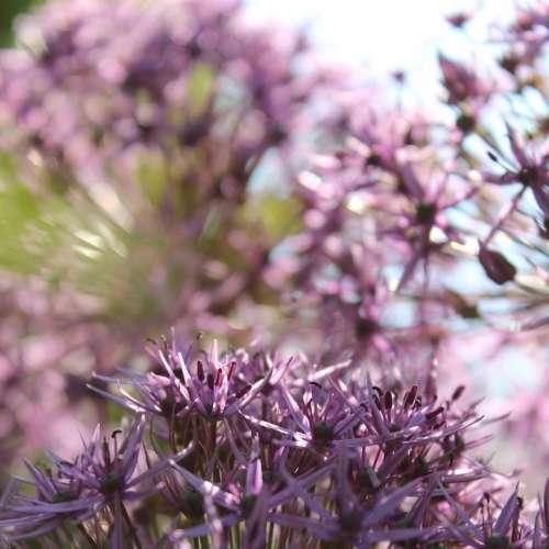 Star Ball Leek Flowers Purple Plant Summer