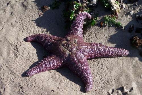 Starfish Ocean Sea Beach Summer Nature
