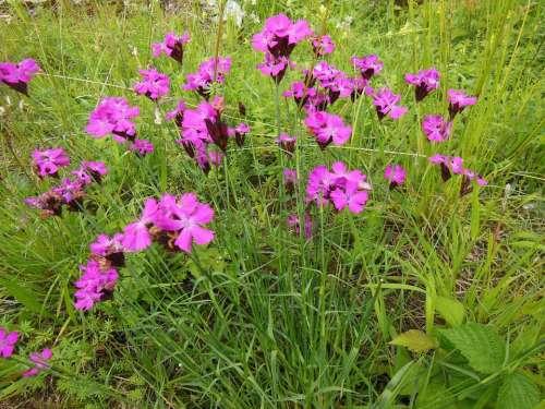 Steinnelken Flowers Wildflowers Nature Meadow
