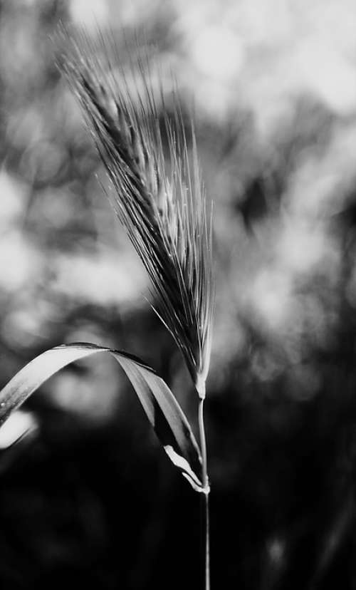 Stem Nature Plants Black And White Blur
