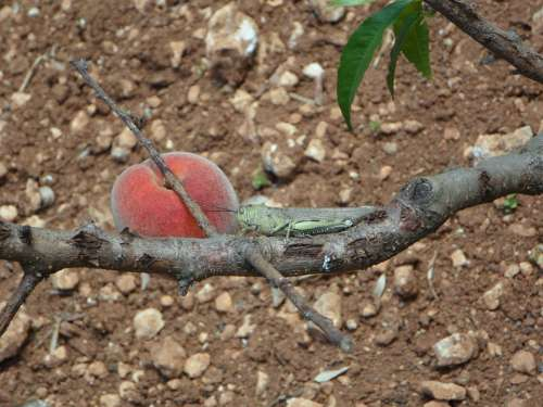 Still Life Peach Viridissima Heupferdchen