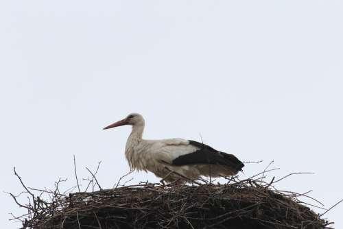 Stork Storchennest Nest Bird Animal Animals