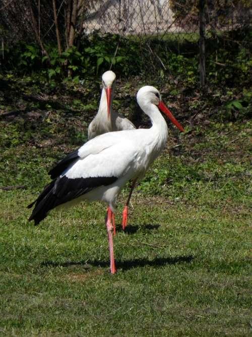 Stork Storks Rattle Stork Birds Meadow Animals