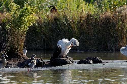 Stork Preening Waters Reed Ducks Enclosure Animal