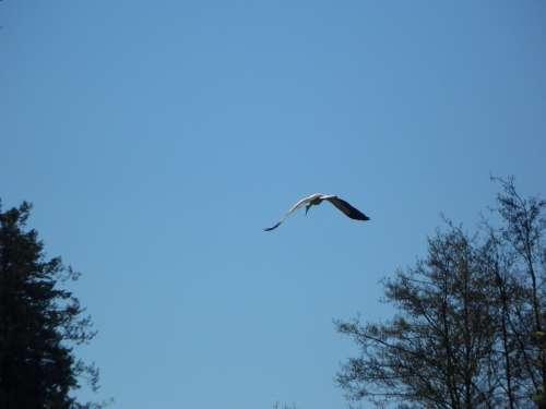 Stork Flying Bird Sky Migratory Bird Spring