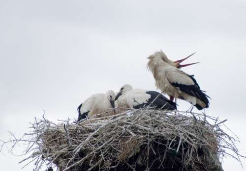 Stork White Stork Birds Nest Bird Feathers