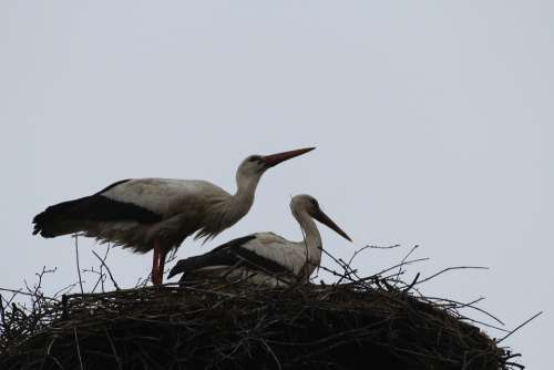 Storks Birds Flying Bird Couple Nest Bird Nature