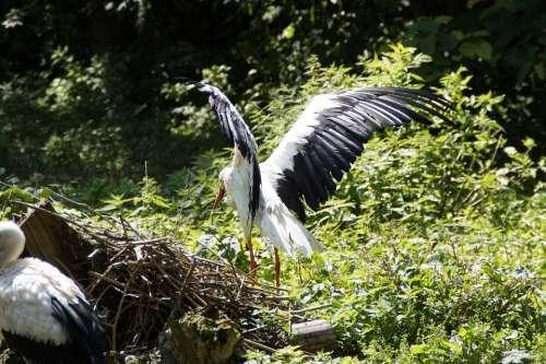 Storks Stork Flügelschlagend Bird Birds Animals