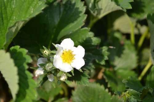 Strawberry Flower Green White Yellow
