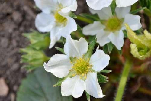 Strawberry Blossom Flower White Close-Up Nature