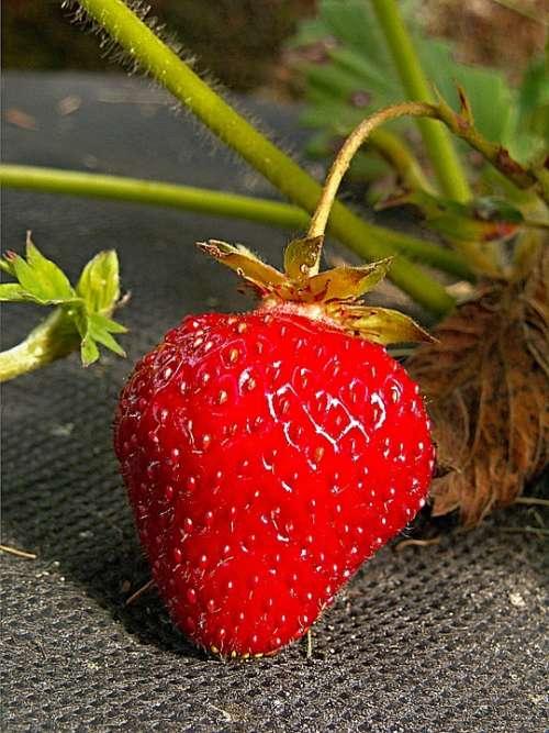 Strawberry Garden Red Fetus Macro Foliage