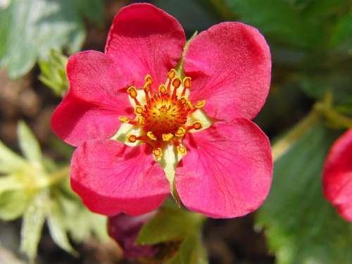 Strawberry Flower Red Spring Fruit Blossom Bloom