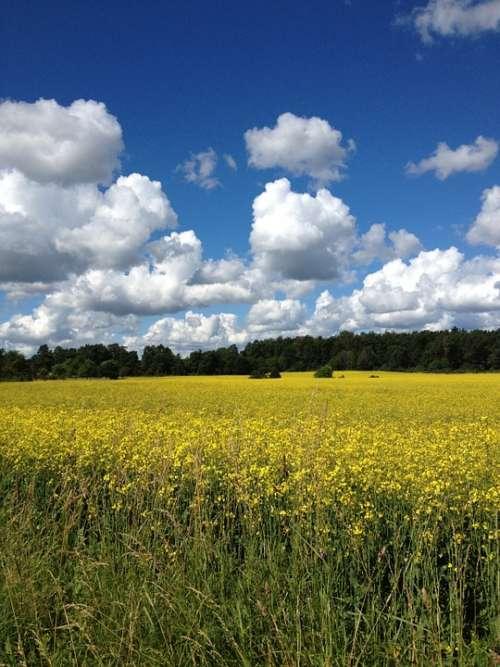 Summer Sweden Yellow Fields Canola Blue Sky Himmel