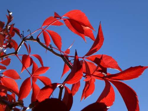 Sun Red Leaves Autumn
