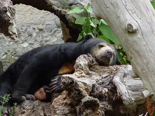 Sun Bear Helarctos Malayanus Bear Resting Animal