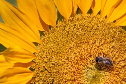 Sunflower Helianthus Annuus Flower Nature Blossom