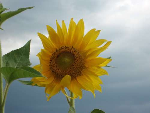 Sunflower Flower Grey Sky Blossom Bloom Plant